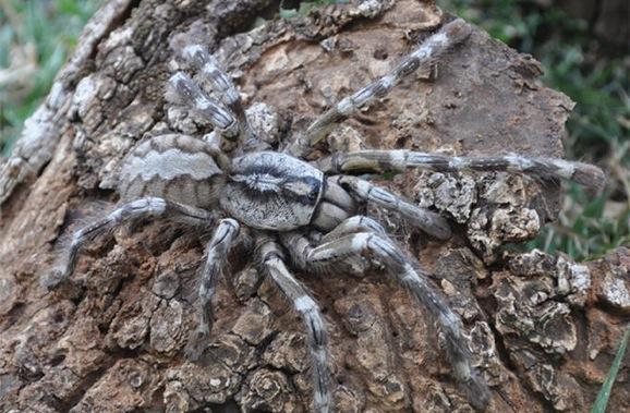 tarantula-as-big-as-your-face-660x433
