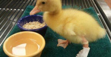duckfoot