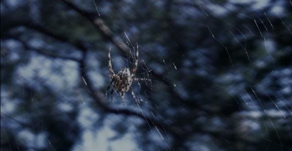 arctic spider