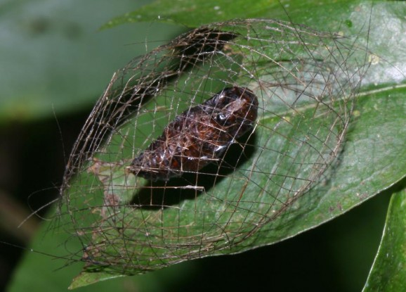 Vietnamese caterpillar