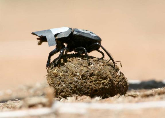 dung beetle with a hat