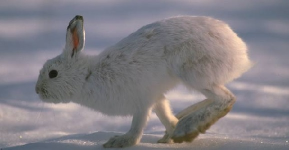 showshoe hare