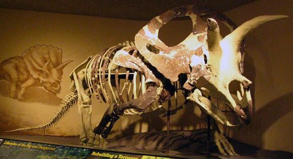 Torosaurus skeleton