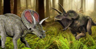 Torosaurus v. Triceratops us