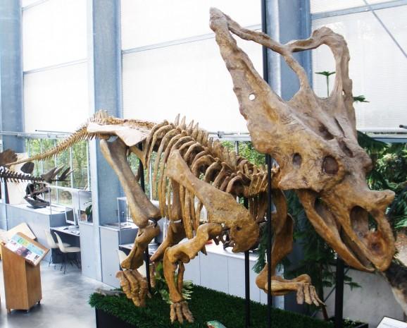 A full-grown Chasmosaurus belli