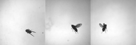 flies in limbo