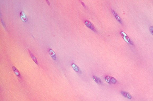 hyaline cartilage stained with haematoxylin & eosin, under polarized light