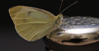 butterfly salt