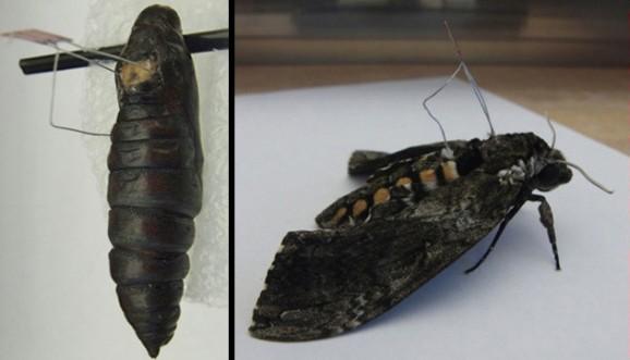 cyborg-moth