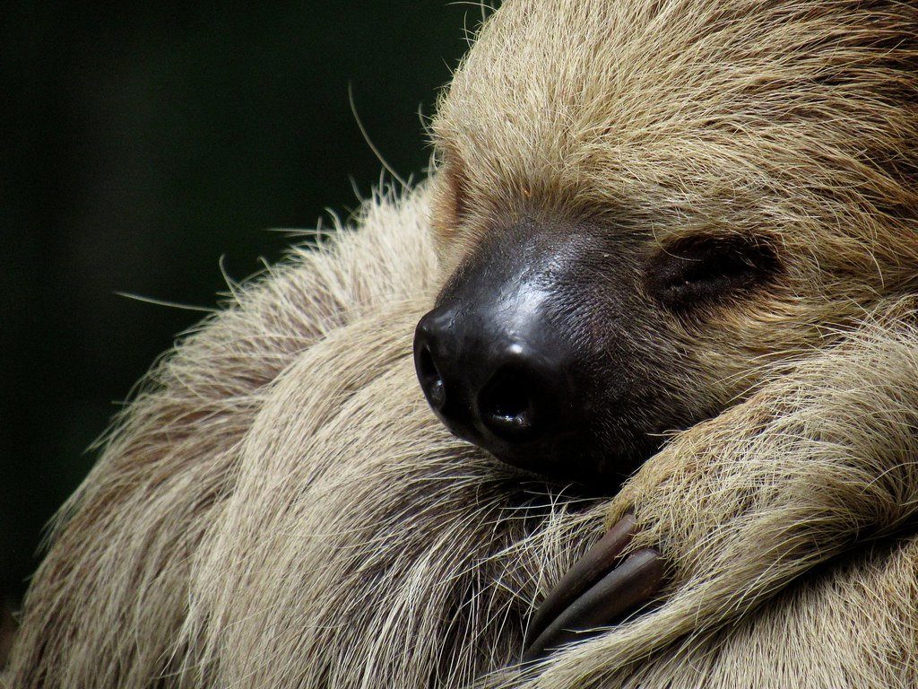 Is The Giant Sloth Real? Uncovering The Amazon's Secret Mega Creature