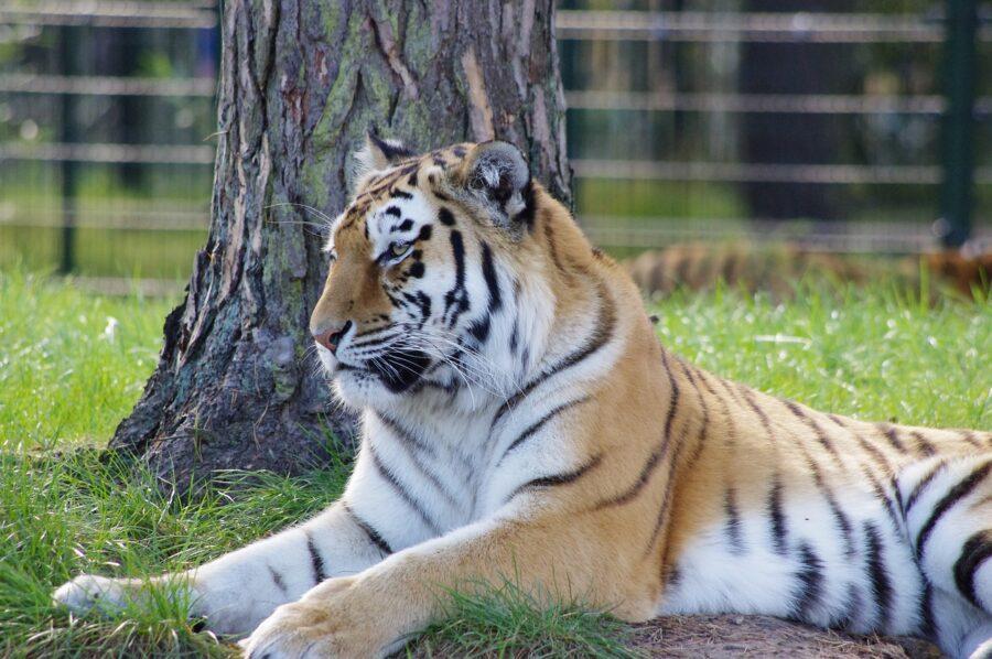 Tiger with Coronavirus