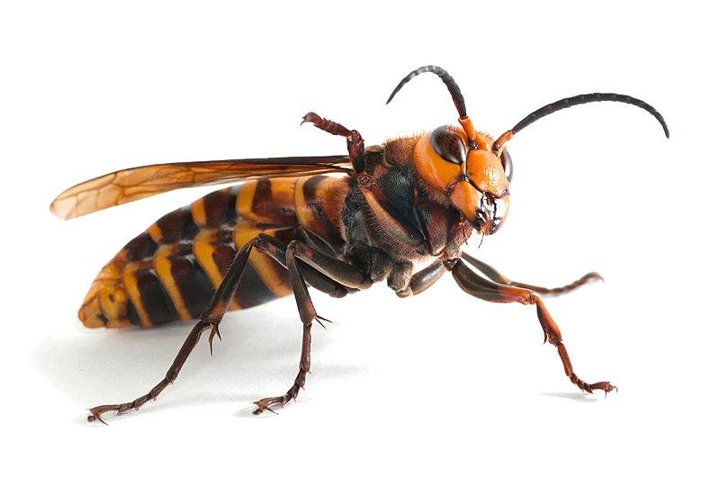 giant murder hornets