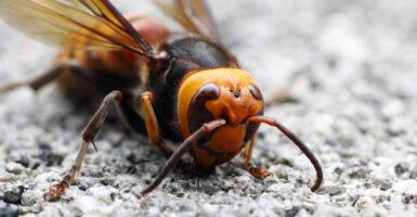 giant murder hornets feature