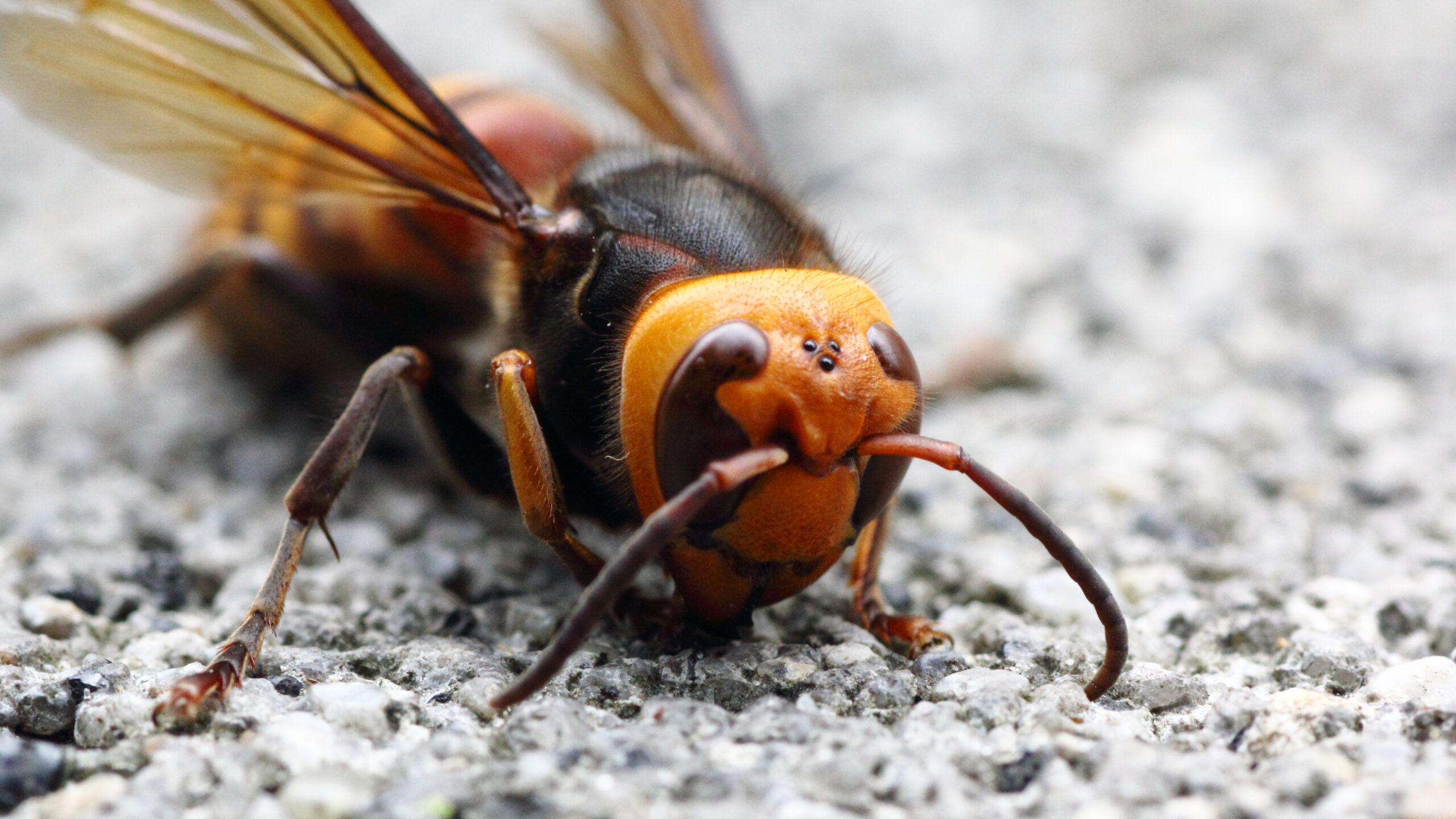 Giant Murder Hornets Are Entering The Slaughter Phase