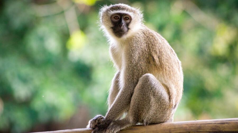costco monkey