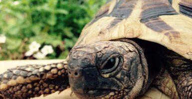 Yellow Turtle
