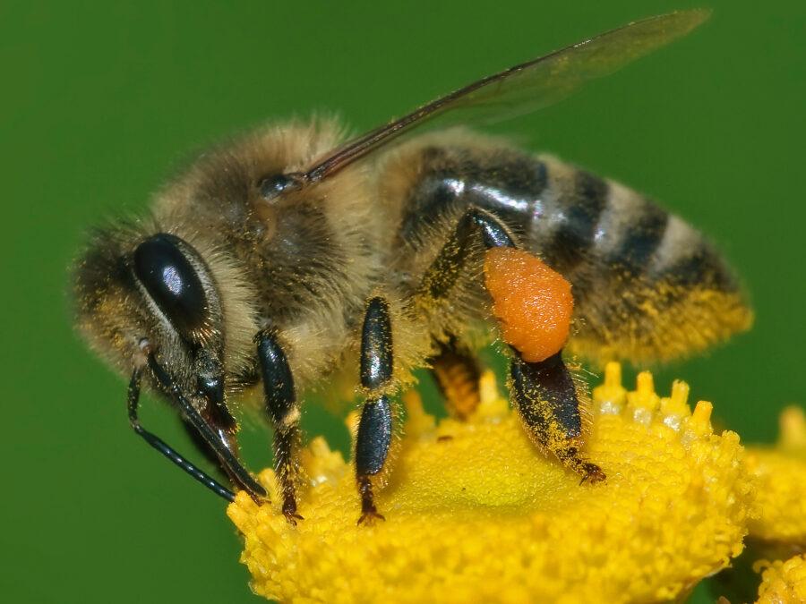 honey bee bees
