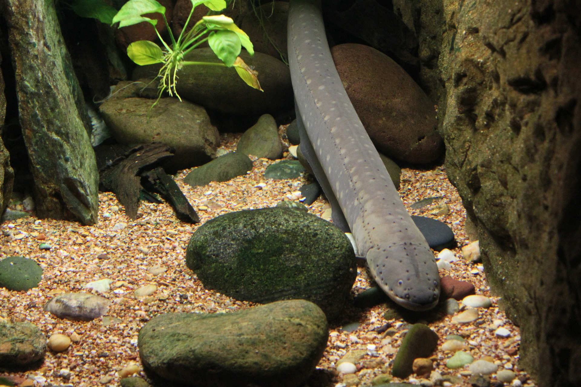 Electric Eels Have Begun Teaming Up In Groups To Electrocute Bigger Prey