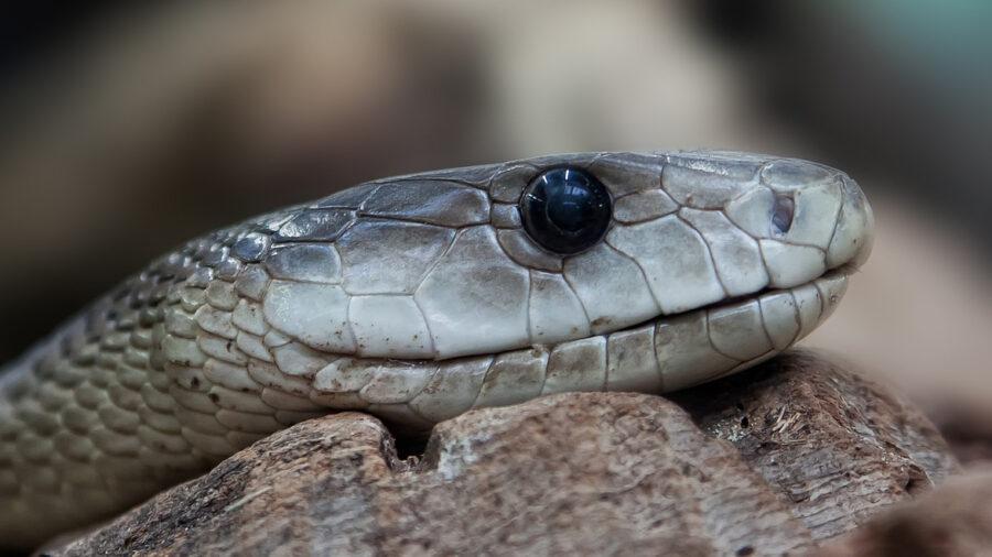 huge snake