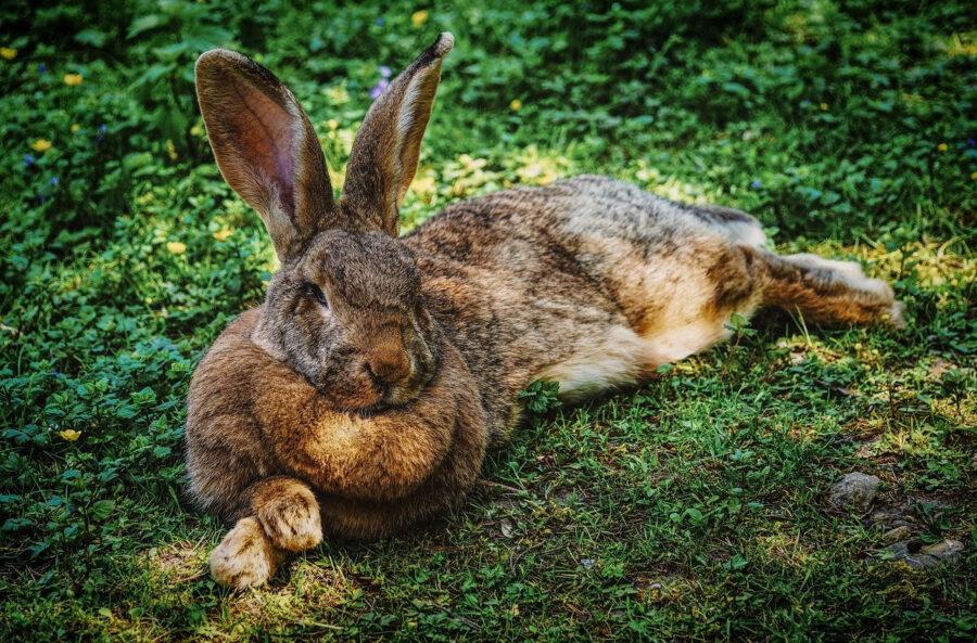 rabbits hare
