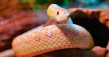 snake albino