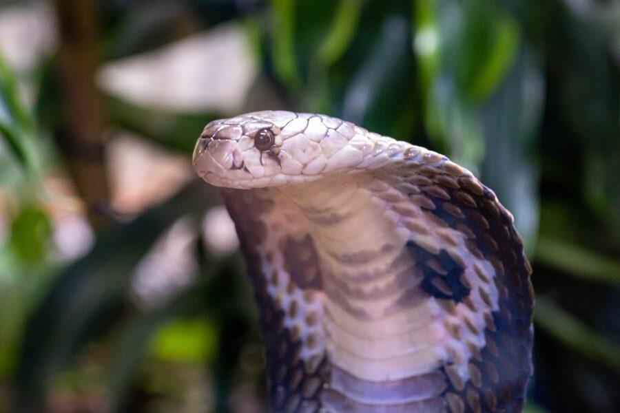 snake zebra cobra