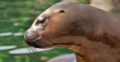 sea lion orca video