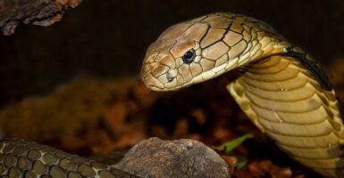 snake murder weapon